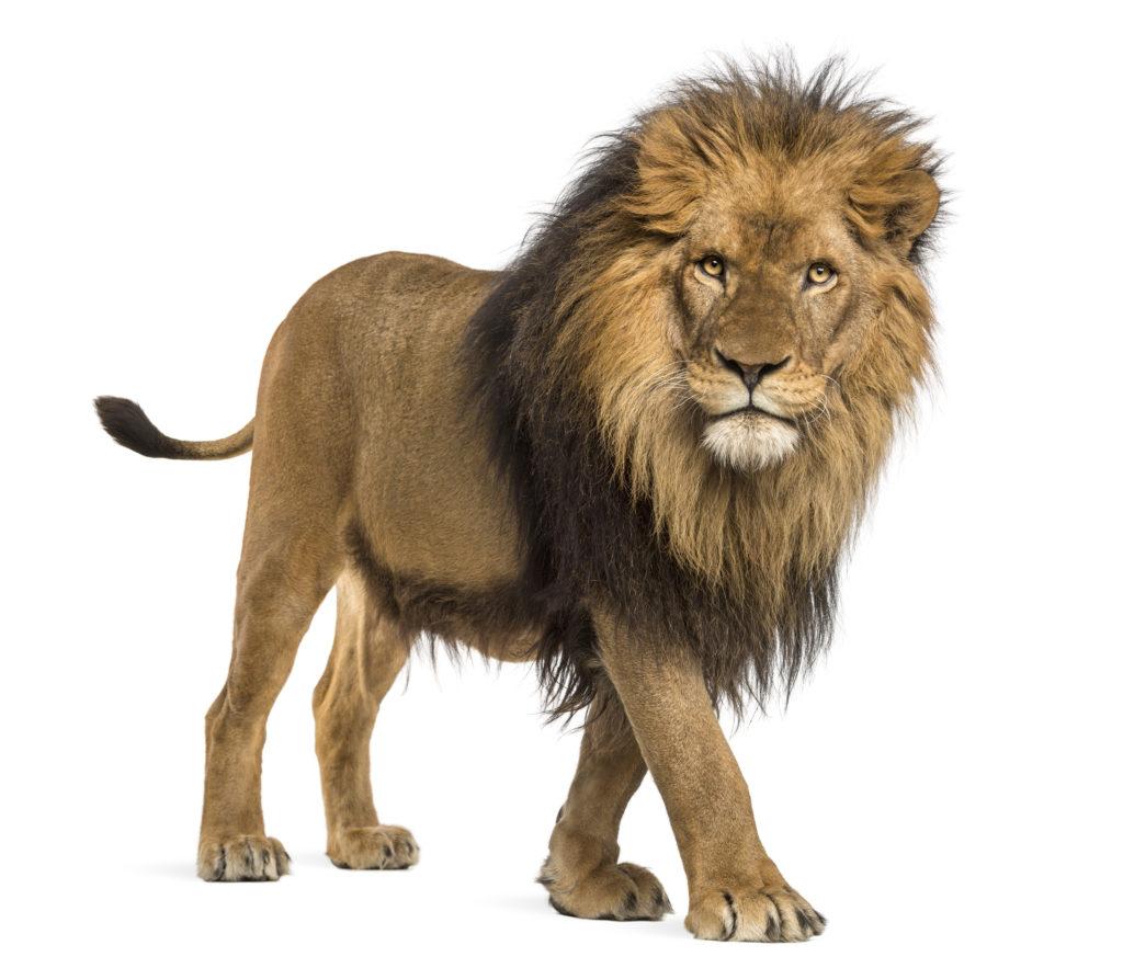 eat like a lion